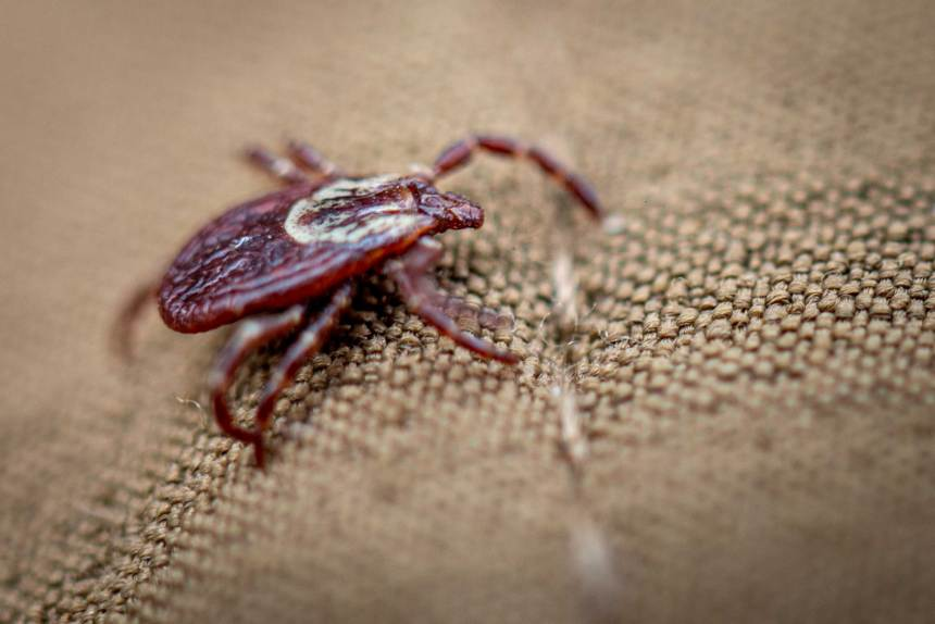 Macro photo of a wood tick.