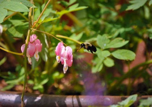 Bumble Bee vs Bleeding Heart