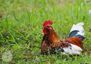 Leghorn Rooster 2 WM