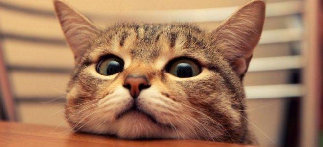 Kucing Paling Mahal