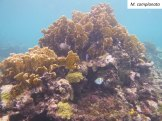 Photo Credit: M. complanata located in or near the Bluefields Bay fish sanctuary. Photos by K. Nedimyer and M. McNaught.