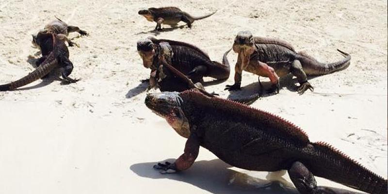The not so scary iguanas.