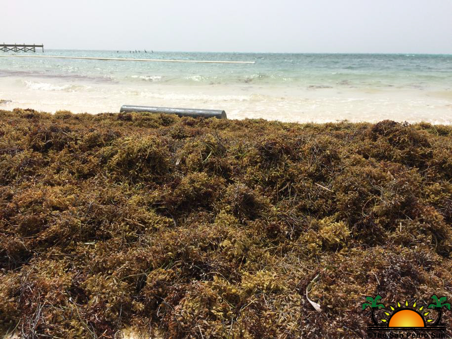 Sargassum influx increasing on Ambergris Caye