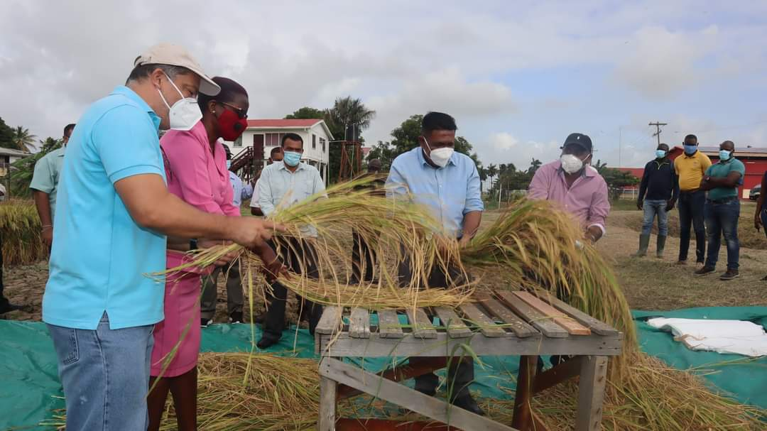 Zinc-infused rice variety to hit market soon