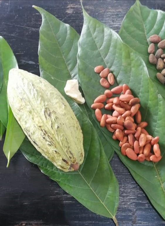 La actualidad: experiencias gastronómicas. El cacao orgullo de Tabasco para el mundo