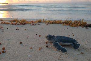 Han protegido 529 nidos de tortuga marina en la Riviera Maya