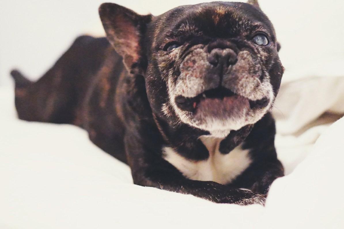 Frank bulldog, Vopni - Carina Behrens, carinabehrens.com