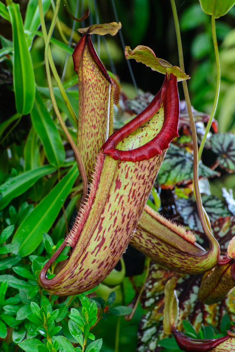 Nepenthes on Borneo expedition
