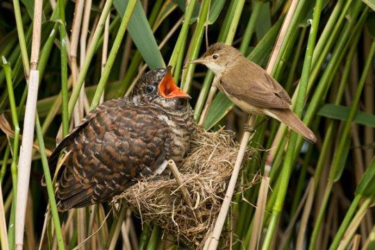 brood parasitism in cuckoos