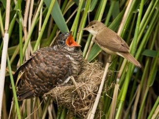 brood parasitism in cuckoos