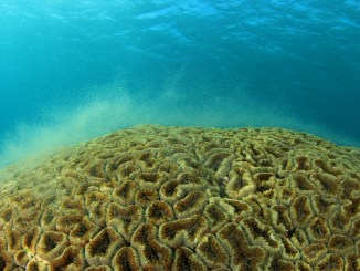 coral broadcast spawning