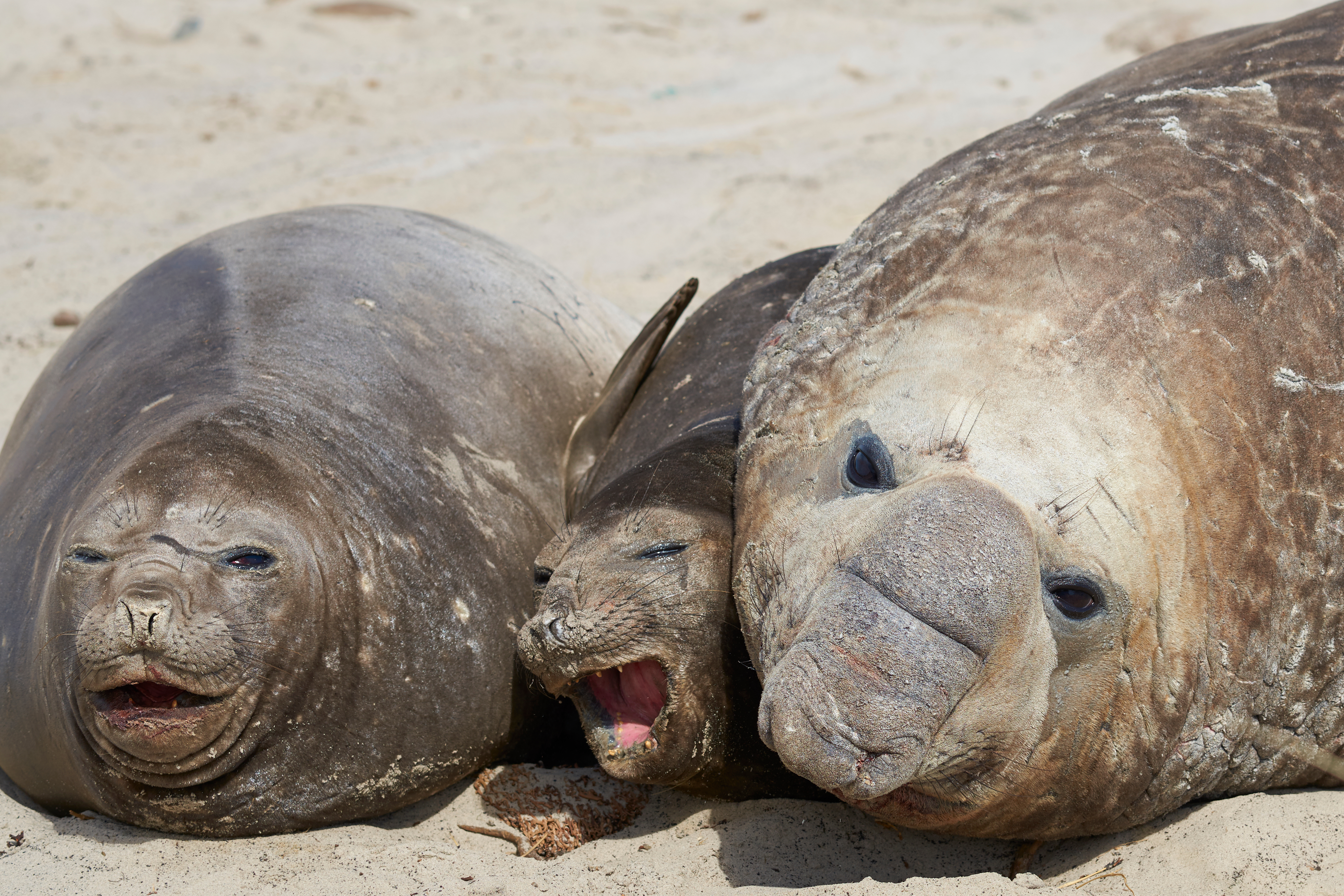 elephant seals and adoptive mothers