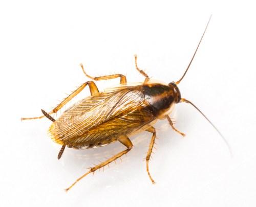German cockroach food pyramid