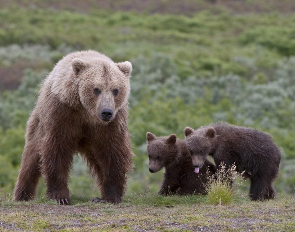 grizzly bear mom adoptive mom