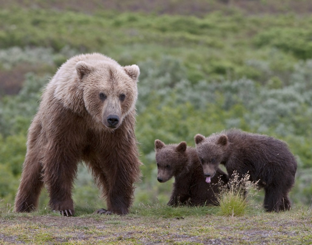 grizzly bear mom adoptive mom