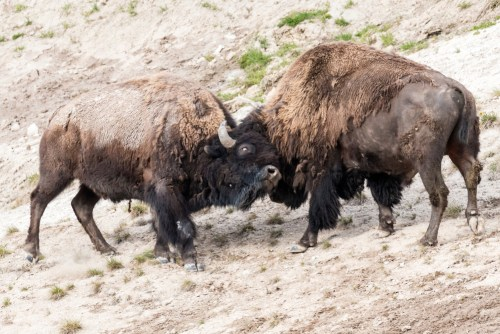 bison engaging in play, an important aspect of homosexual sex for practice