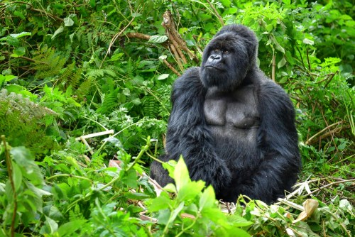 homosexuality has been observed among male gorillas