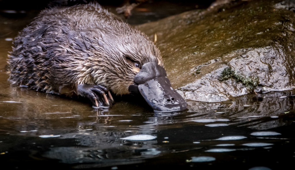 platypus mothers lay eggs and produce milk