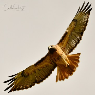 Red-tailed Hawk, Grindrod, BC.