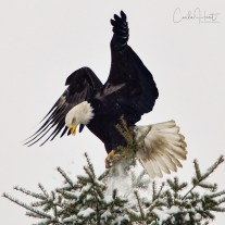 This bald eagle has some sort of injury to its beak. Armstrong, BC