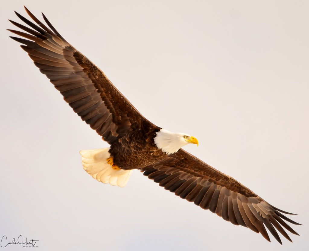 Bald Eagle, Coldstream