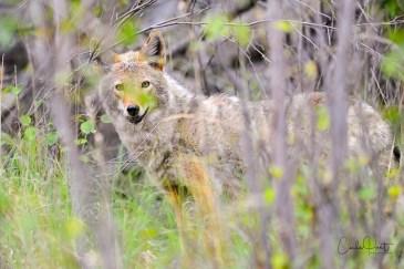 Coyote, Adventure Bay, Vernon, BC
