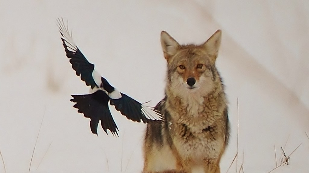 Coyote and Magpie