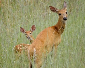 Deer and Fawn, Oyama, BC