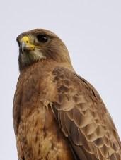 Swainson's Hawk, Coldstream, BC