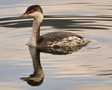 Horned Grebe in Winter Plumage on Wood Lake, Oyama, BC