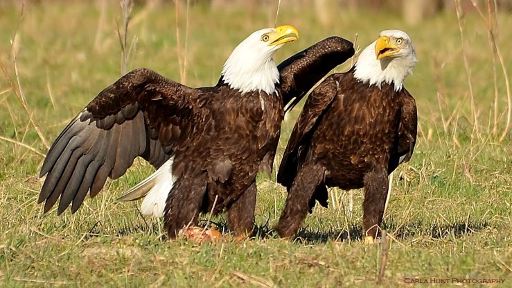 Pair of bald eagles on a field in Coldstream Ranch, Coldstream, BC