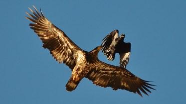 Bald Eagle & Crow