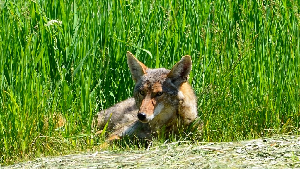 Resting Coyote