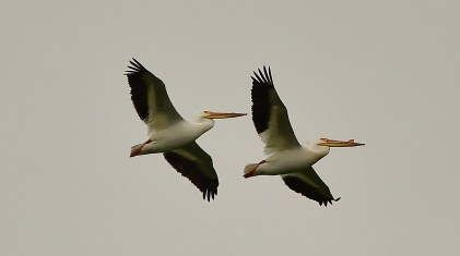 Pelicans, Swan Lake Nature Reserve, Vernon, BC
