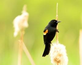 Red-winged Blackbird, Swan Lake Nature Reserve, Vernon, BC