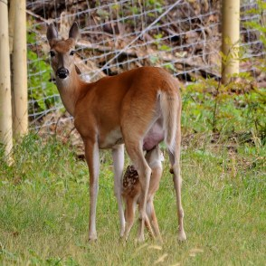 White-tailed deer and new little fawn, Coldstream, BC