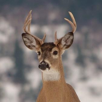 Nice buck, Coldstream, BC