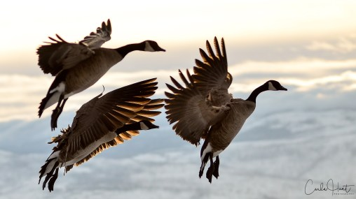 Canada Geese coming in for a landing on Kin Beach, Okanagan Lake, Vernon, BC