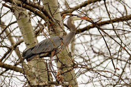 Great Blue Heron gathering nesting material, Vernon, BC
