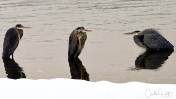 Great blue herons hunkered down on a winter day, Kalamalka Lake, Coldstream, BC