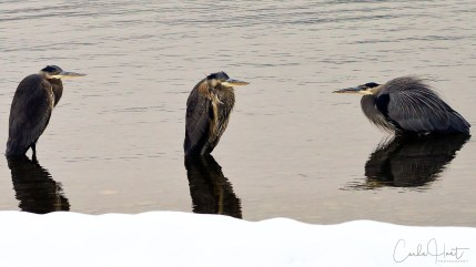 Great blue herons hunkered down on a winter day, Kalamalka Lake, Coldstream, BC