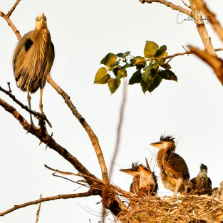 Great Blue Heron and Four Chicks, Vernon, BC