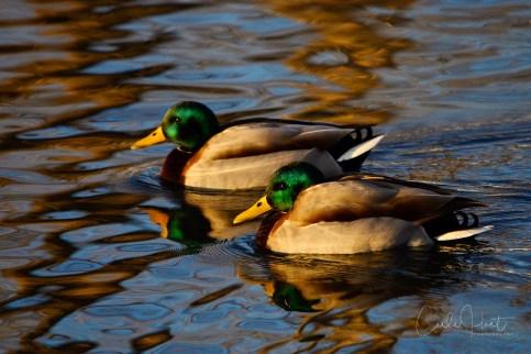 Mallard Ducks, Kalamalka Lake, Coldstream, BC