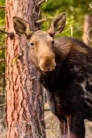 Great Canadian Moose, North Okanagan