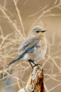 Female Mountain Blue Bird, Swan Lake Nature Reserve, Vernon, BC