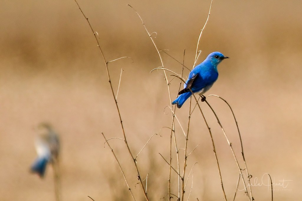 Mountian Blue Bird