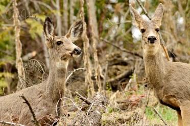 Mule Deer, Echo Lake