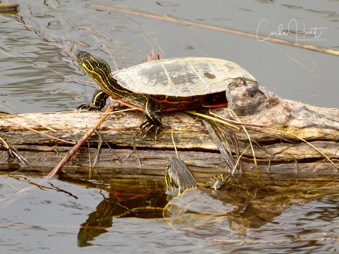 Western Painted Turtles, Commonage, Vernon, BC