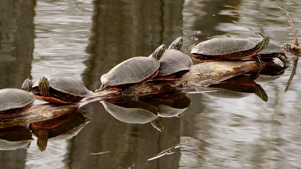 Western Painted Turtles