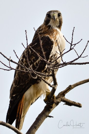 Red-tailed hawk, Vernon, BC.